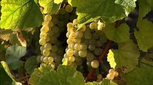 Nahaufnahme grüner Trauben am Weinstock